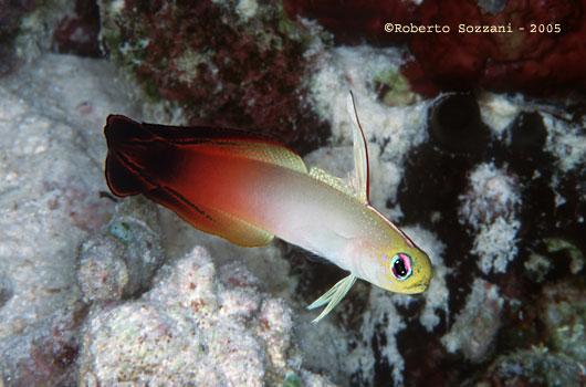 Gobide, Pesce freccia, Fire goby, Dartfish, Nemateleotris magnifica ...